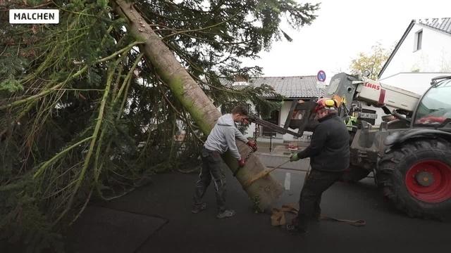 Baum für Darmstädter Weihnachtsmarkt ist gefällt