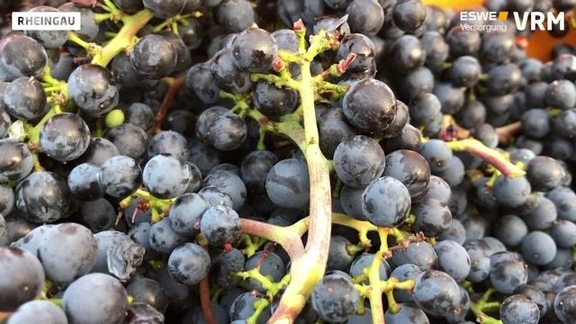 Startschuss für die Weinlese im Rheingau