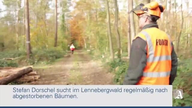 Mainz: 10.000 tote Kiefern fallen