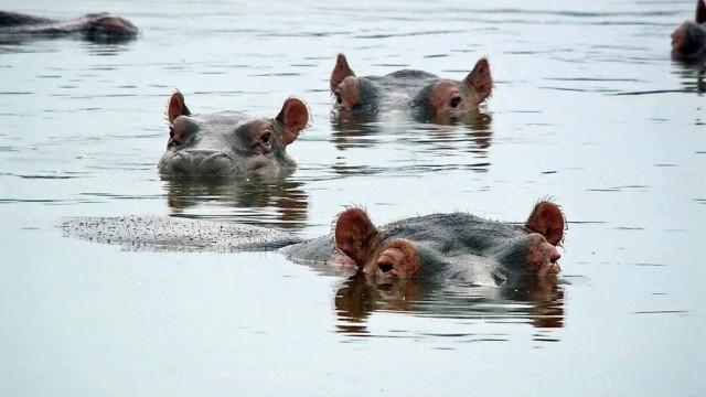Paradies der Flusspferde