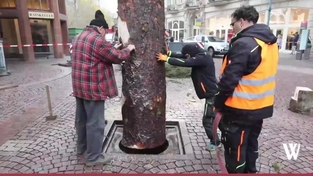 Wiesbaden: Weihnachtsbaum für Sternschnuppenmarkt aufgestellt