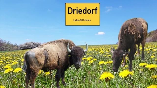 So geht es den Bisons Hänsel und Gretel aus Driedorf