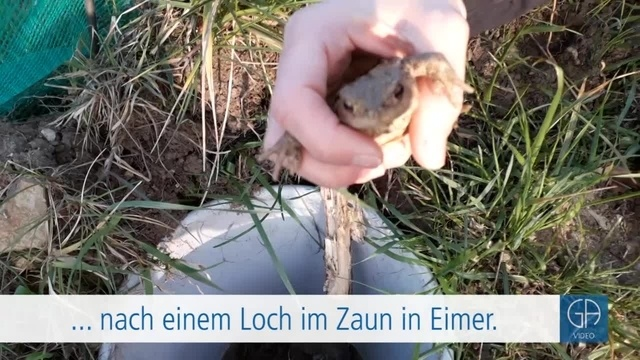 Krötenwanderung bei Lützellinden