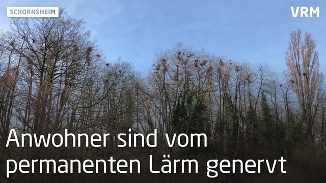 Hunderte Krähen sorgen für viel Lärm in Schornsheim