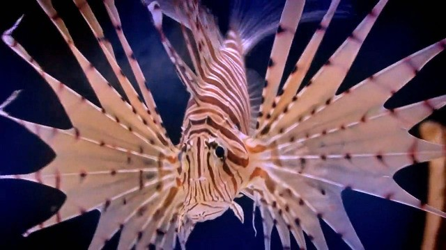 Invasion der Feuerfische