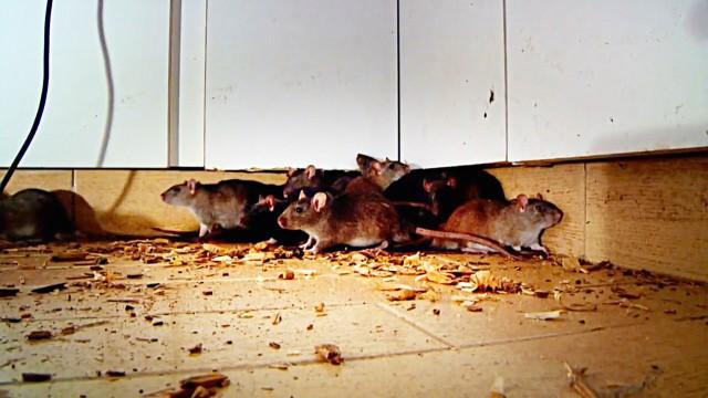 Invasion der Ratten und Termiten