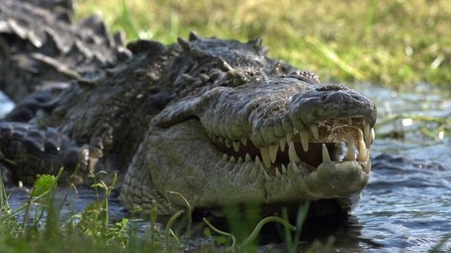 Invasion der Krokodile