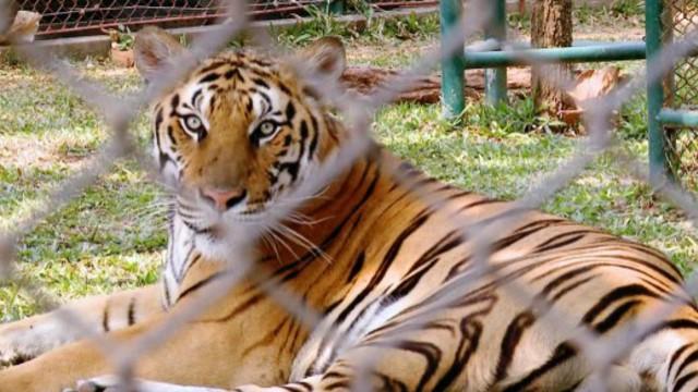 Geschäft mit Tigern