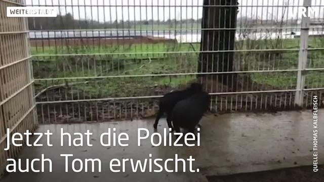 Hängebauchschweinchen in Weiterstadt wieder vereint
