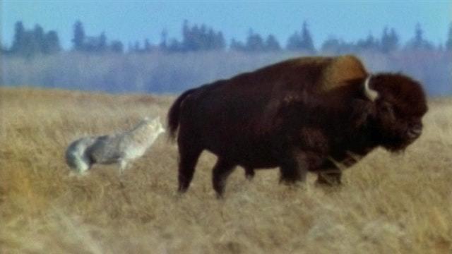 Bison gegen Wolf