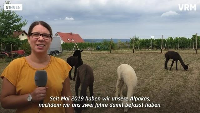 Alpakas in Bingen-Dromersheim