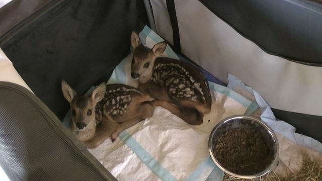 Drei Rehkitz-Waisen halten Tierfreunde auf Trab
