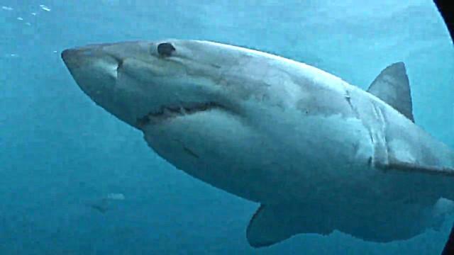 Haitauchen in Australien