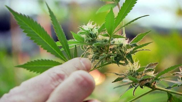 Cannabis-Boom in Deutschland