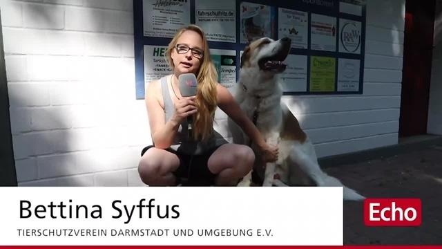Tierheim Darmstadt: Bernhardiner Paco braucht eine OP