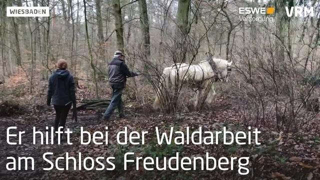 Baumrückepferd Quoli hilft bei Waldarbeiten
