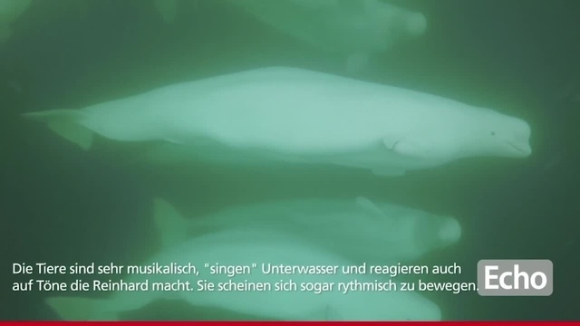 Ober-Ramstädter Unterwasserfotograf taucht mit Belugas im Churchill River