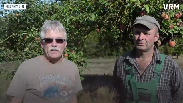 Apfelernte auf der Streuobstwiese in Nierstein