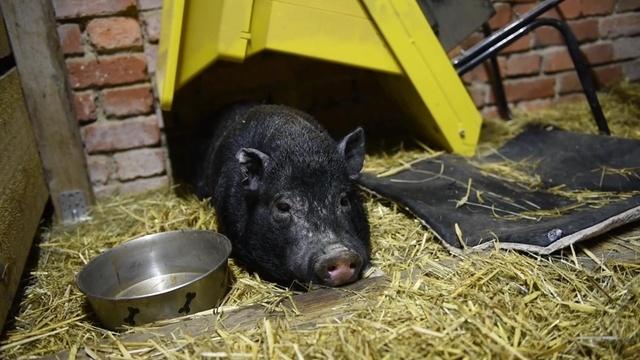 Minischwein Kalle lebt jetzt auf der Hutz Wutz Farm