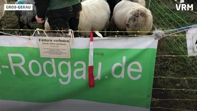 Groß-Gerau: Von Schafen lernen