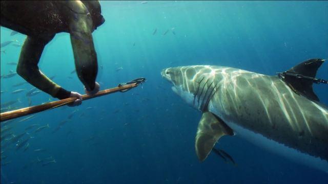Wer hat Angst vor dem Weißen Hai?