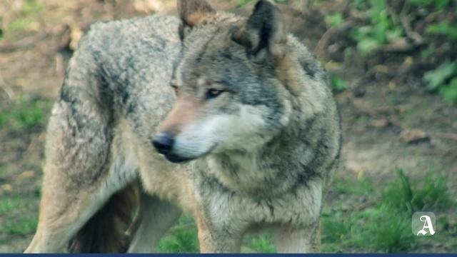 Monsterschlau: Wie leben Wölfe?