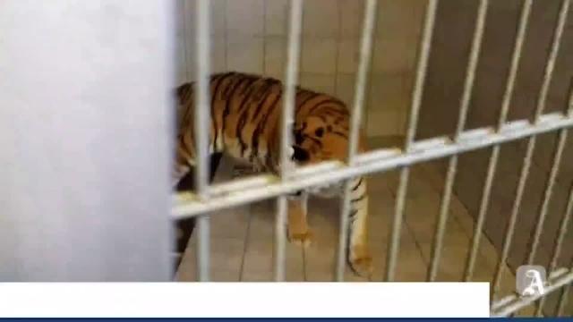 Ingelheim: Wie überwintern bengalische Tiger?