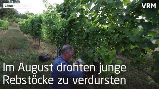 Ernteauftakt bei Winzergenossenschaft in Groß-Umstadt