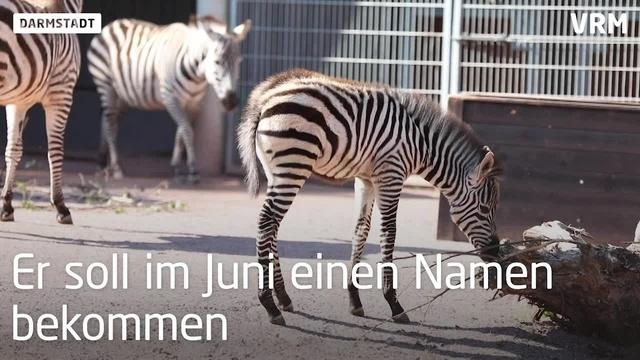 Zebrafohlen entzückt im Darmstädter Vivarium