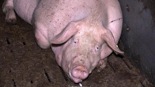 Schweine für den Discounter
