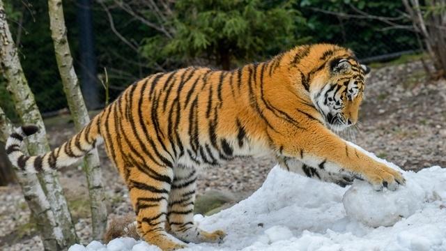 Hagenbecks Tierpark Darum Dürfen Die Sibirischen Tiger Im Schnee