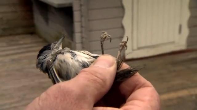 Illegale Vogeljagd
